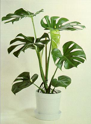 Monstera Ableger monstera